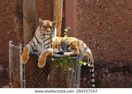 A close up view of a Bengal tiger, Panthera tigris tigris, laying down on top of a fence underneath a tree.  - stock photo