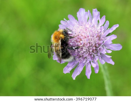 A close up view of a bumblebee collecting nectar from a field scabious flower with place for your text. Shallow depth, selective focus. - stock photo