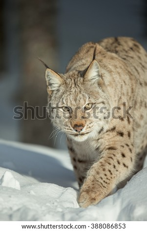 A close up view of a Lynx walking through deep snow and looking directly at the camera. - stock photo