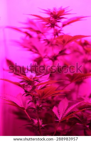 A close up view of a marijuana plant in mid bloom - stock photo