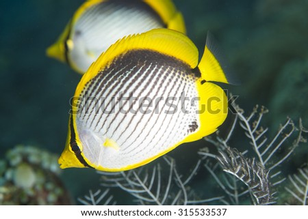 A close up view of a pair of black-backed butterflyfish (Chaetodon melannotas) tropical coral reef fish against a dark background in Bali in Indonesia - stock photo