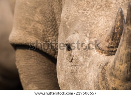 A close up view of a White Rhino face and horn. - stock photo