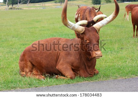 A close up view of Ankole cattle / A big pair of horns - stock photo
