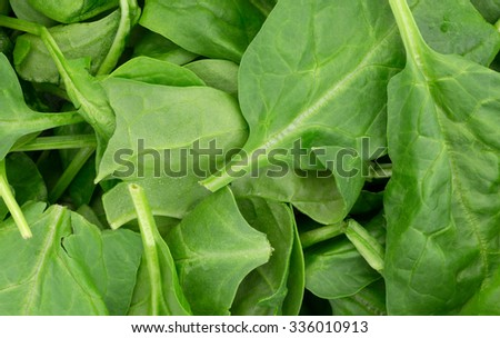 A close view of a group of immature spinach leaves.  - stock photo