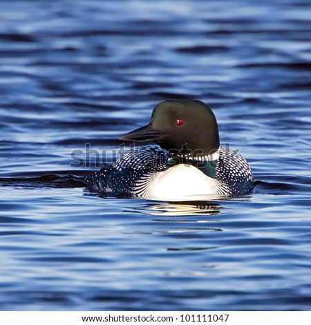 A closeup image of a Common Loon with breeding adult coloring swimming in a pond. - stock photo