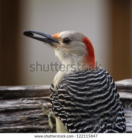 A closeup image of a Red-bellied Woodpecker perched on a log with a seed in it's mouth. - stock photo