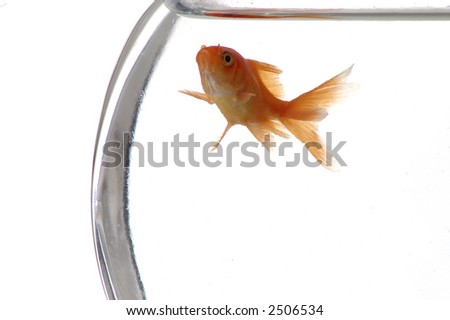 A closeup of a goldfish in a bowl against a white background. - stock photo