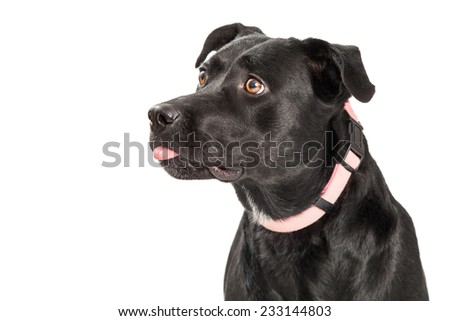 A closeup of a Labrador Retriever Mixed Breed Dog facing sideways with tongue out of mouth. - stock photo