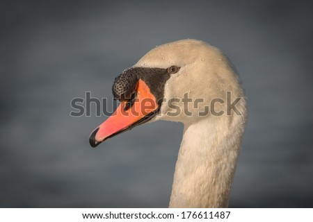A closeup of a male Mute Swan or cob. - stock photo