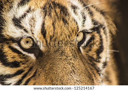 A closeup of a Siberian tiger's face at the Siberian Tiger Reserve in Harbin China - stock photo