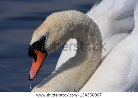 A Closeup of a Single Mute Swan with a Water Drop Hanging From Beak - stock photo