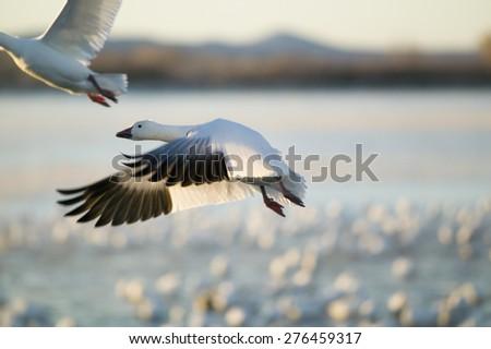 A closeup of a snow goose frozen in flight at the Bosque del Apache National Wildlife Refuge, near San Antonio and Socorro, New Mexico  - stock photo