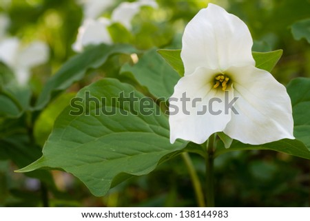 A closeup of a Trillium grandiflorum blooming in a spring forest. - stock photo