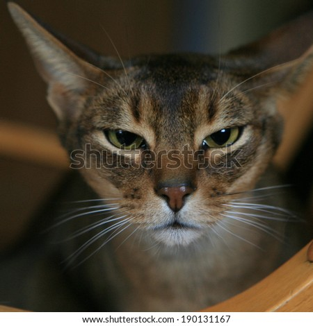 A closeup of an Abyssinian Cat - stock photo
