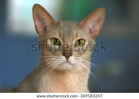 A closeup of an Abyssinian Cat looking at the camera - stock photo