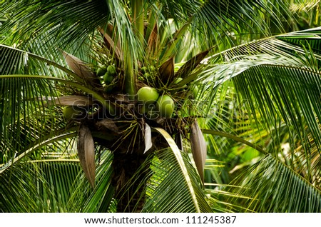 a closeup of coconuts in a green palm tree - stock photo