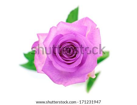 A closeup of Purple ro...