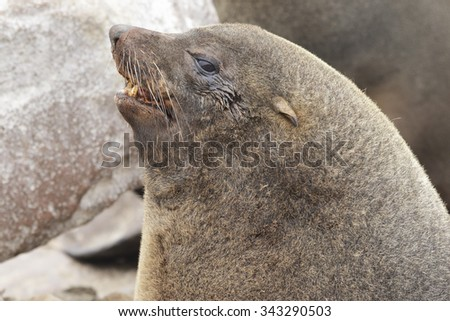 A closeup of the face of a mature male south African fur seal. - stock photo