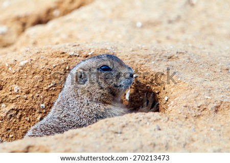 A closeup of the head of a black-tailed prairie dog - stock photo
