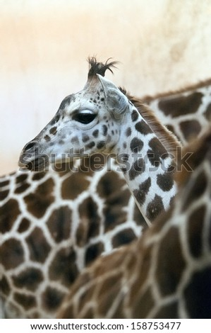 A closeup of the head of a young giraffe in a herd - stock photo