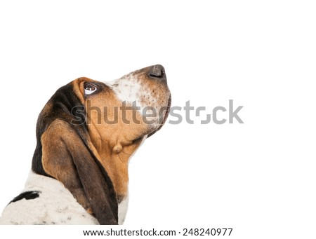 A closeup of the side view of a cute Basset Hound puppy dog looking up - stock photo