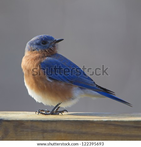 A closeup photograph of a  fluffy Eastern Bluebird perched on a deck rail. - stock photo