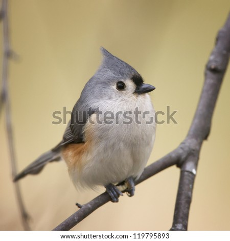 A closeup photograph of a Tufted Titmouse perched on a tree branch. - stock photo