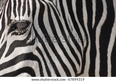 A closeup to a Zebra muzzle, Etosha, Namibia - stock photo