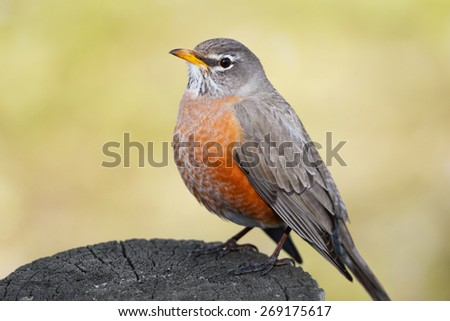 A closeup view of a red-breasted American Robin sitting on a post in early spring. - stock photo