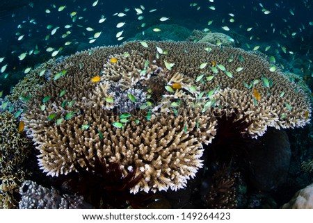 A cloud of blue-green damselfish (Chromis sp.) feed on plankton above corals in the Solomon Islands.  This area is found within the Coral Triangle and is high biological diversity. - stock photo