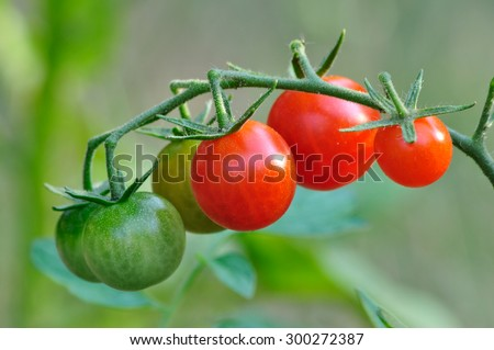 A cluster of cherry tomatoes on the vine. - stock photo