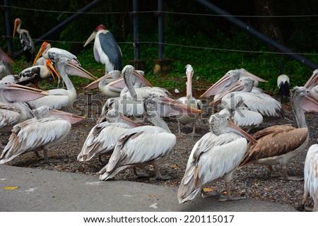 A cluster of Pelican Birds - stock photo
