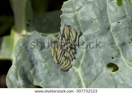 A cluster of small cabbage white caterpillars feeding on the leaf of brussels sprouts plant - stock photo