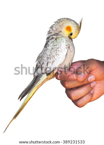 A cockatiel pet sitting on a hand and preening isolated on white background - stock photo