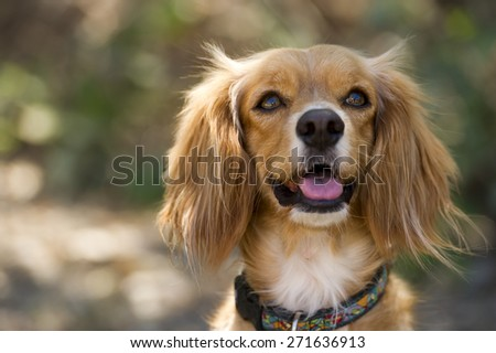 A Cocker Spaniel cross dog with fluffy ears is looking up curiously - stock photo