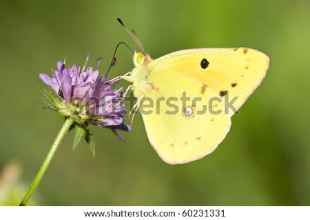 A Colias butterfly on a purple meadow flower - stock photo