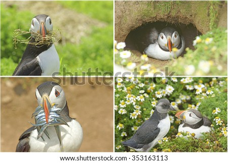 A collage of Atlantic Puffins, Fratercula arctica, during the breeding season with a Puffling about to fledge on Skomer Island, West Wales, Pembrokeshire, United Kingdom - stock photo