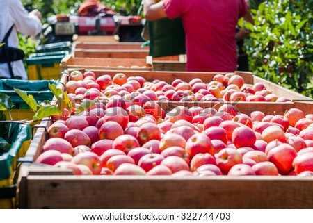 A collection of apples in the orchard. Lindau, Germany. - stock photo