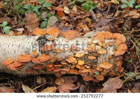 A Colony of Brown Fungus on a Fallen Silver Birch Tree. - stock photo