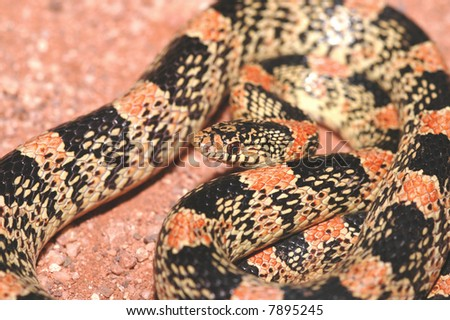 A colorful and interesting image of a longnose snake from Arizona. - stock photo