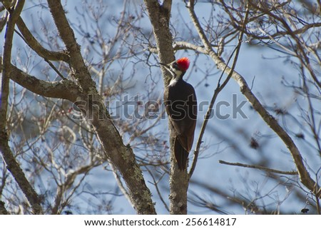A colorful black and white Pileated Woodpecker with a bright thatch of red on its head perched in a dogwood tree trunk in winter