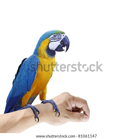 A colorful exotic Blue and Yellow Macaw which is scientifically known as Ara ararauna parrot perching on a hand, isolated against white. - stock photo