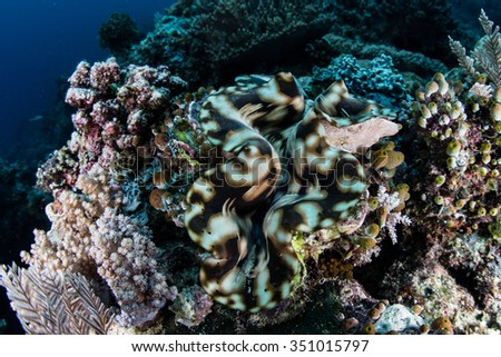 A colorful giant clam (Tridacna squamosa) grows in Raja Ampat, Indonesia. This tropical region is known for its incredible marine biodiversity and exceptional diving and snorkeling opportunities. - stock photo