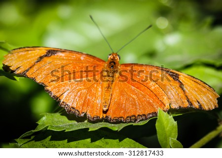 A colorful Julia Heliconian Dryas Julia butterfly. - stock photo