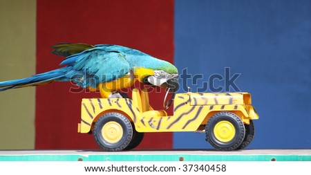 a colorful parrot driving a car whilst performing infront of an audience - stock photo