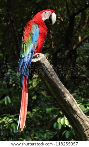 A colorful scarlet macaw stand on a branch in the bird park - stock photo