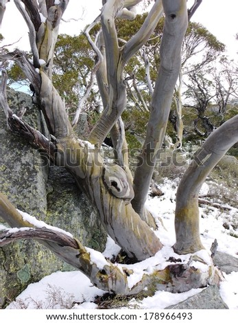 A colorful snow gum (Eucalyptus pauciflora) at the Charlotte pass in the Snowy Mountains in New South Wales in Australia - stock photo