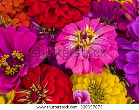 A colorful zinnia bouquet with mixed colors. - stock photo