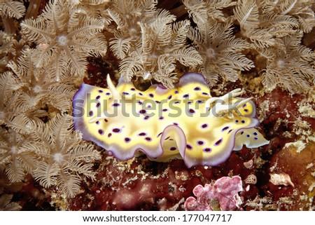 A colourful nudibranch sea slug, Chromodoris kuniei on the reef with soft corals. Uepi, Solomon Islands - stock photo