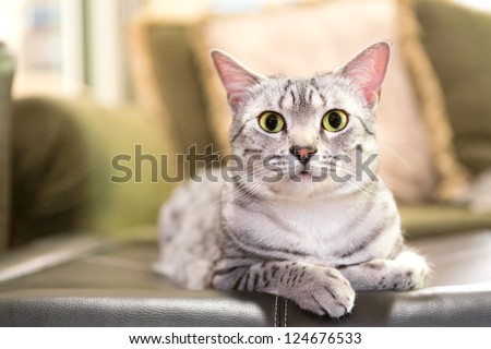 A comfortable Egyptian Mau cat relaxes on a leather ottoman.  Shallow depth of field is focused on the eyes - stock photo